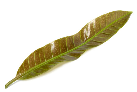 Mango leaves over white background Imagens
