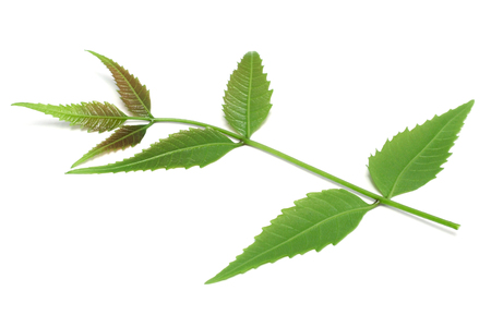 Medicinal herbal Neem leaves used in ayurvedic alternative herbal medicine over white background Imagens