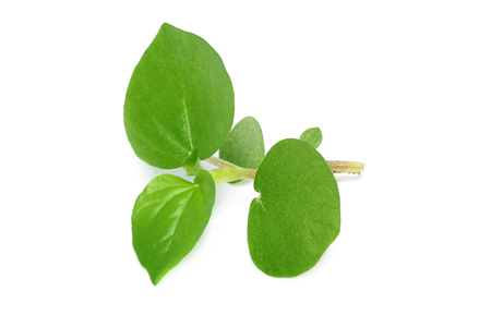 Piper stylosum or peperomia on white background