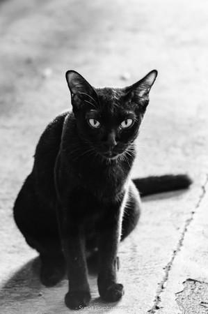 Gatto nero Archivio Fotografico - 85256029