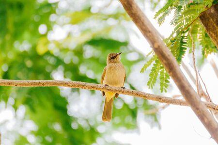 Tailorbird Stock Photo