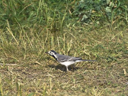 Single wagtail standing at the green grass photo
