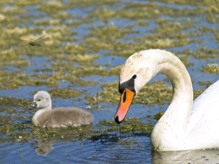 ooze: Little swan with parent swimming at the water with ooze