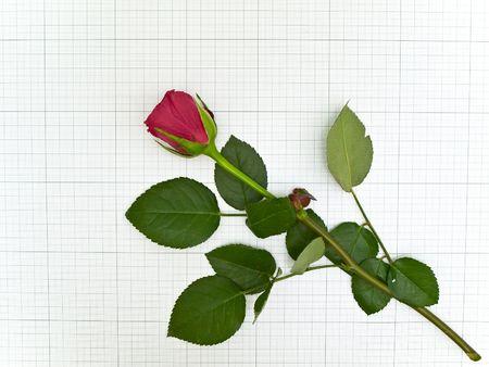 plotting: Single red rose at the plotting paper Stock Photo