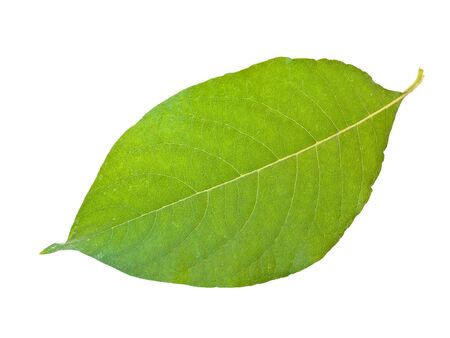 Single green leaf against the white background  Stock Photo