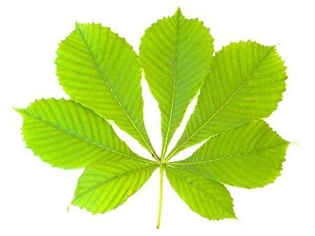 Single green chestnut leaf against the white background
