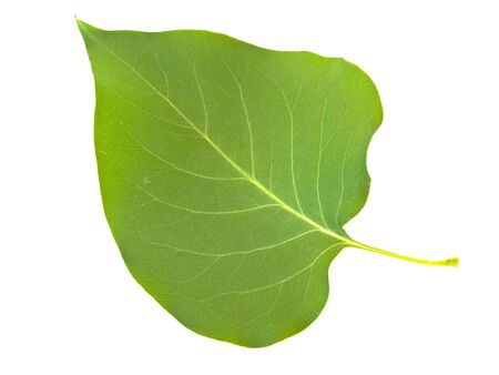 herbary: Single green lilac leaf against the white background Stock Photo