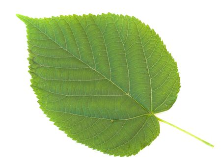 Single green linden leaf against the white background