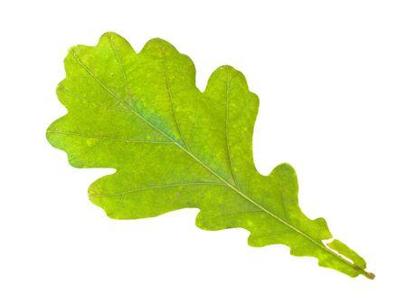 Single green oak leaf against the white background