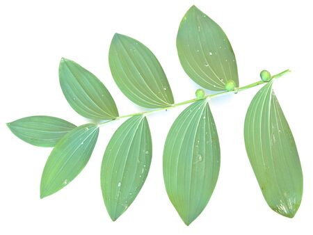 Single green mezereon leaf against the white background