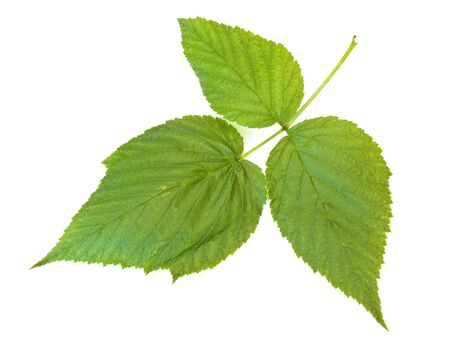 Single green raspberry leaf against the white background Stock Photo