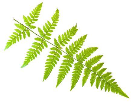 herbary: Single green fern leaf against the white background