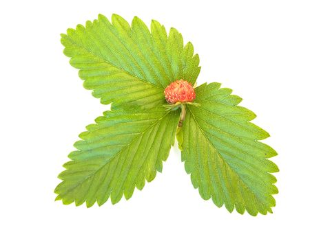 herbary: green strawberry leaves with red  strawberry against the white background
