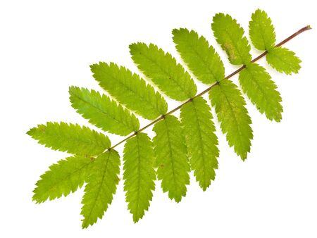 herbary: Single green wild ash leaf against the white background