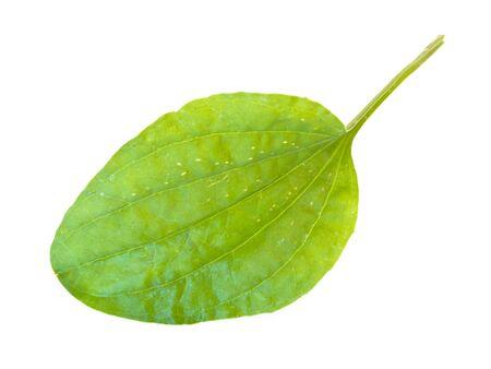 Single green ribwort leaf against the white background
