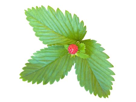 herbary: green strawberry leaves with red  strawberry against the white background  Stock Photo