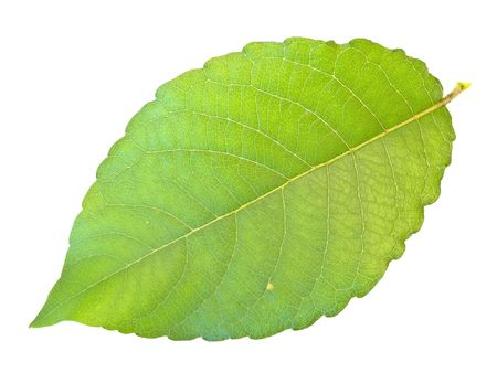 Single green leaf against the white background