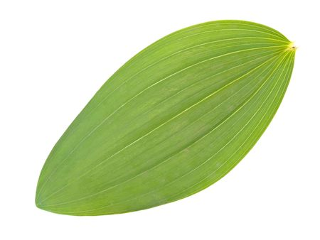 herbary: Single green leaf against the white background