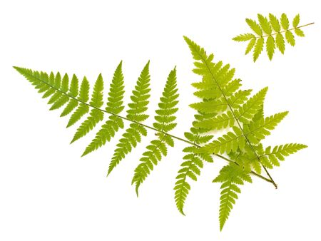 Green fern and ash leaves against the white background Stock Photo