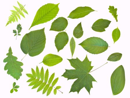 herbary: Some green leaves against the white background