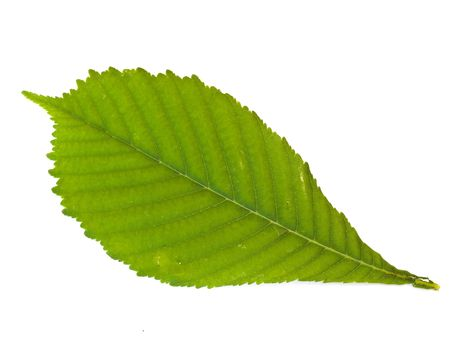 herbary: Single green chestnut leaf against the white background