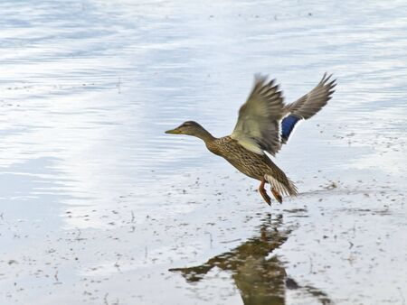 Wild duck flying under water photo