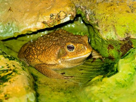 anuran: photo of the big brown toad in the water
