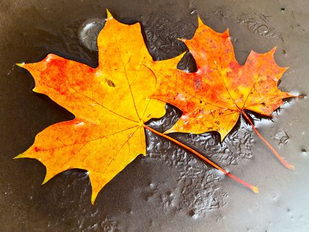 two orange maple leaves in ice photo
