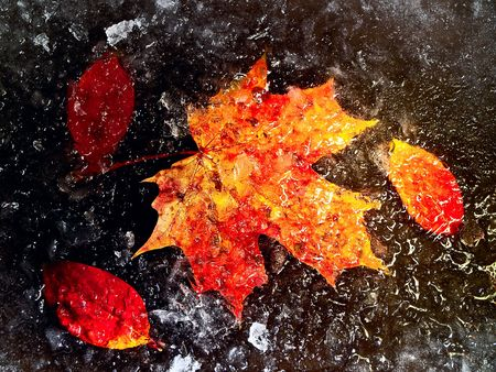 orange autumn leaves in ice at the black background  photo