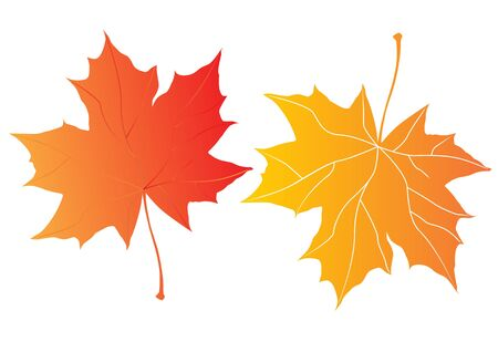 fallow: two autumn maple leaves over the white background