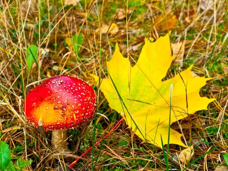 Red fly agaric with yellow  maple leaf Stock Photo - 3779330