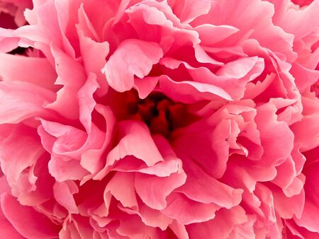 peony: photo of the pink beautiful peony background Stock Photo
