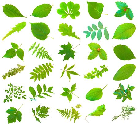 herbary: set of different green leaves over the white background