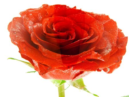 red beautiful rose flower in the watter photo