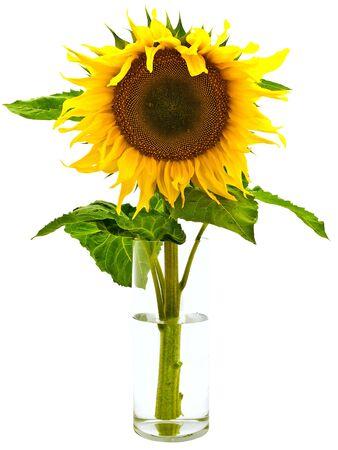 ablooming: giallo girasole in vaso con acqua su fondo bianco