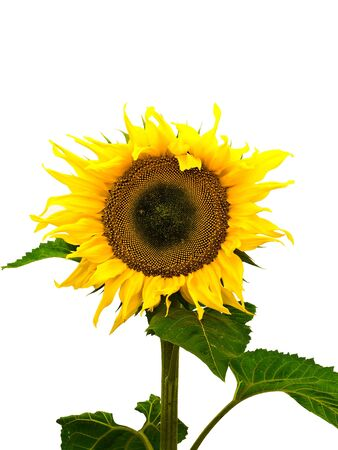 ablooming: yellow big nice sunflower over white background  Stock Photo