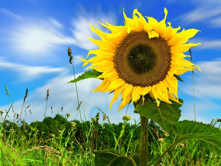ablooming: yellow big nice sunflower in field view of the escaping clouds through the grass