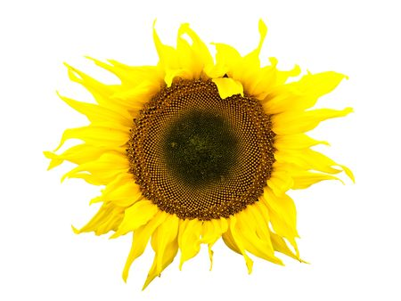 ablooming: Photo of the yellow sunflower against the white background