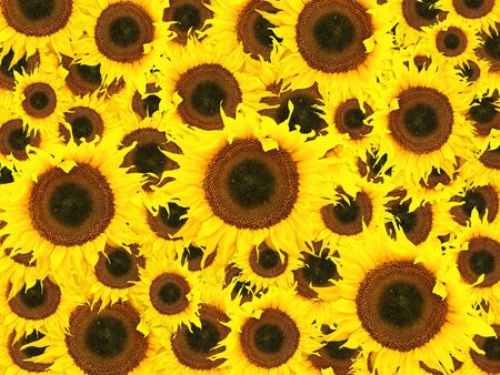 ablooming: Photo of the sunflower background