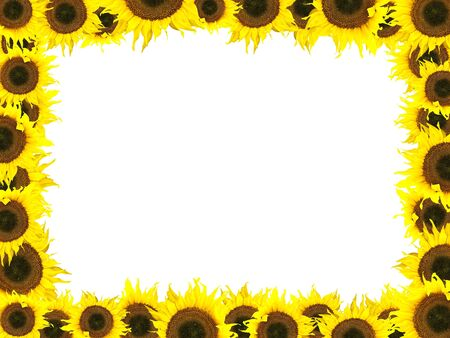 ablooming: yellow sunflower frame against the white background Stock Photo