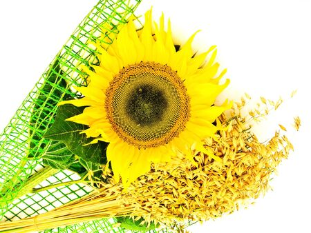 ablooming: yellow sunflower and oats over the white background