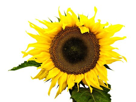 ablooming: yellow big nice sunflower over white background