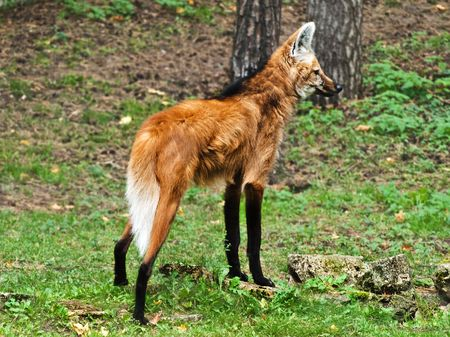 Photo of maned wolf in wild nature Stock Photo