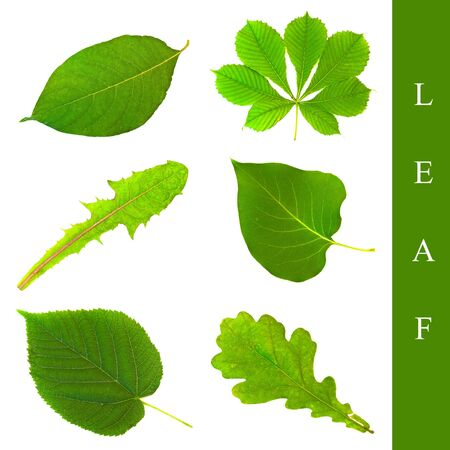 herbary: set of different leaf images over white background
