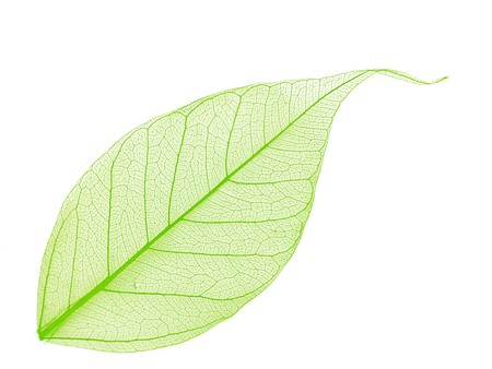 Single green decorative skeleton leaf, element for your design