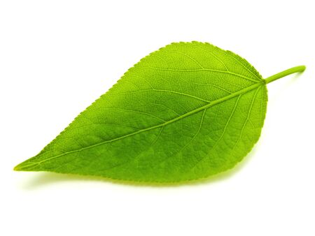 sola hoja verde sobre fondo blanco