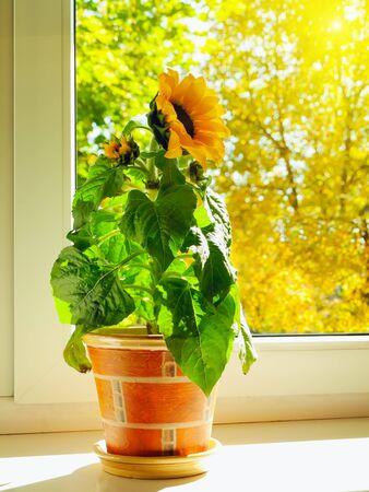 pot light: sunflower at windowsill against sunny autumn day Stock Photo