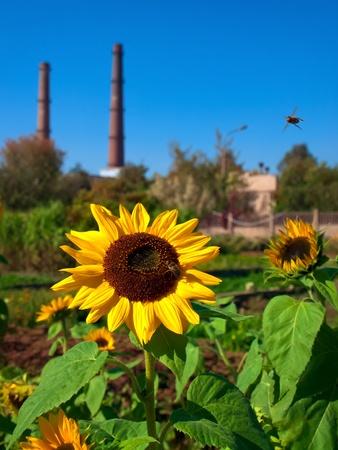 smokestacks: sunflowers and honeybees in front of smokestacks Stock Photo