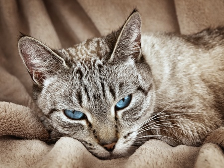 Cat with blue eyes over the beige  photo