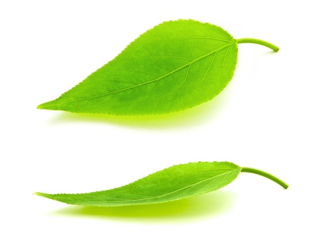 leaf shape: green leaves over the white background Stock Photo